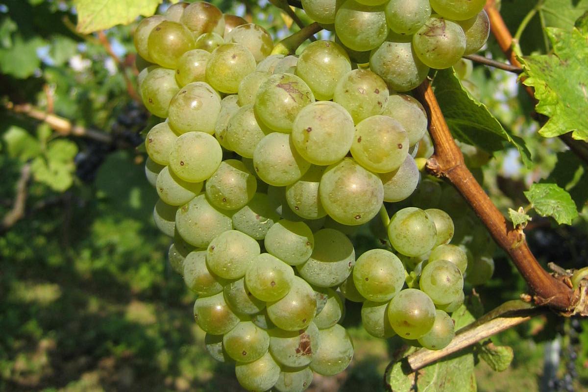 Weißwein in Rechnitz, Südburgenland